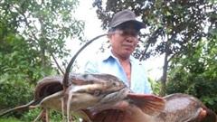 Bơm nước ngoài ruộng, lão nông bắt được cá trê 'khủng' dài hơn 1 mét, có 8 sợi râu