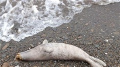 Hơn 7.000 xác hải cẩu dạt vào bờ biển Namibia