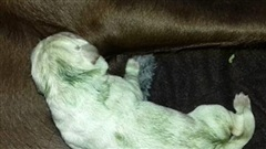 Kỳ lạ con chó màu xanh lá cây được sinh ra ở Italia