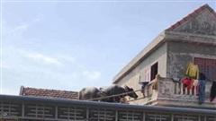 Clip: 'Dở khóc dở cười' cảnh giải cứu 2 chú trâu trên mái nhà sau khi lũ rút