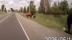 Chạy trốn khỏi bạn tình sung sức, bò cái đâm vỡ kính xe hơi khi vội chạy thoát thân