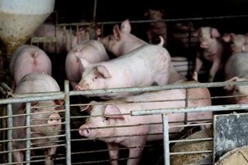 Nghi án đầu độc đồng nghiệp bằng 'hormone lợn' ở Trung Quốc