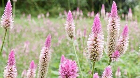 Hoa cỏ dại bờ ruộng thành hàng sang chảnh hút dân Hà thành