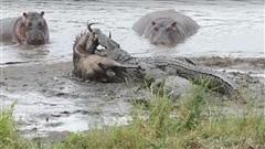 Hà mã nổi điên, cá sấu mất mồi không dám ho he