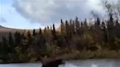 Sửng sốt video nai sừng tấm lướt chân trên mặt nước khi vượt sông