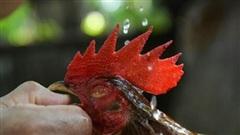 Cảnh sát Philippines tử vong vì gà chọi khi xử lý chọi gà trái phép