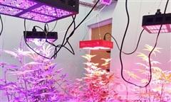Lâm Đồng: Bắt vụ trồng cần sa bằng đèn led 7 màu 'độc' chưa từng có