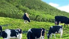 'Hưởng lợi' từ công ty con Mộc Châu Milk, Vilico (VLC) báo lãi 105 tỷ đồng quý 3, hơn gấp đôi cùng kỳ