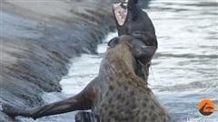 Video: Linh cẩu 'thủy chiến' tàn khốc suốt hai tiếng