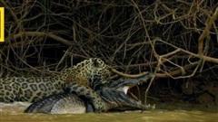 Xem báo đốm làm liều xuống sông săn... cá sấu