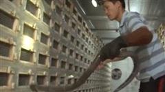 Vĩnh Phúc: Trở thành tỷ phú nhờ nuôi loài 'tử thần' ăn thức ăn 5.000 đồng/bữa