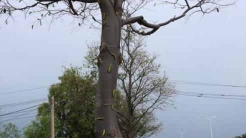TP Vũng Tàu: Hơn 500 cây sao đen trên tuyến đường 2/9 bị sâu xanh ăn lá phá hoại