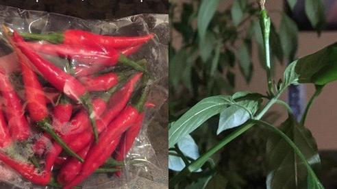 Thích 'cây nhà lá vườn', đôi vợ chồng trẻ chi hơn 6 triệu để trồng ớt cuối cùng nhận cái kết đắng, dân tình cười sằng sặc: Đi mua đủ ăn 11 năm!