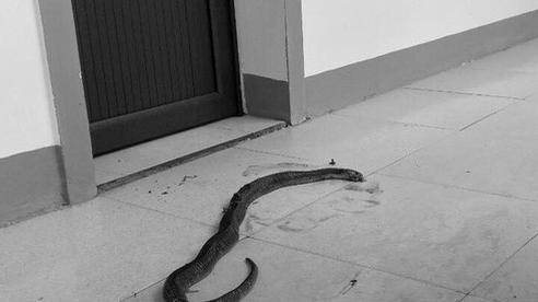 Sau lũ, hàng chục con rắn cực độc chui vào nhà dân, trụ sở xã làm tổ