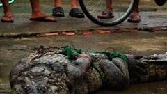 Lại phát hiện thêm hai con cá sấu sổng chuồng ở Cà Mau