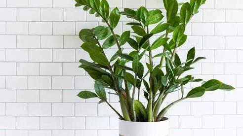 Trẻ 6 tuổi nhập viện vì ngộ độc lá kim tiền: Loại cây 'hút tài lộc' ai cũng thích trồng nhưng chứa chất độc cực mạnh cần cảnh giác