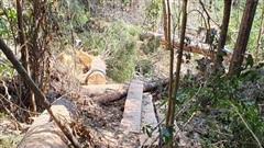 Khẩn trương điều tra, xử lý nghiêm vụ khai thác rừng trái pháp luật tại Đạ Đờn, Lâm Hà