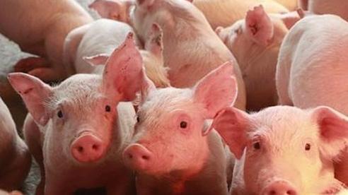 Giá lợn hơi ngày 25/11, miền Bắc tiếp tục tăng nhẹ