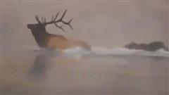 Cuộc chiến nảy lửa trên dòng sông băng lạnh giá: Gấu xám dìm chết nai sừng xám!
