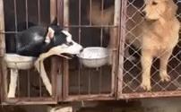 Video: Choáng với cách husky láu cá, giành đồ ăn của đồng bọn
