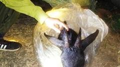 Nghệ An: Bắt 2 đối tượng giết hại sơn dương trong Vườn quốc gia Pù Mát