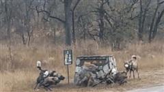 Chó hoang châu Phi định ăn thịt linh cẩu con, thấy linh cẩu mẹ liền lập tức đổi mục tiêu: Kết cục bất ngờ!