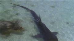 Đi săn rùa, cá mập hổ bị con mồi đánh tơi tả