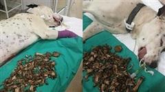 Chú chó nguy kịch, thở thoi thóp trong phòng khám thú y: Lời cảnh tỉnh cho những ai đang có thói quen sai lầm này với thú cưng