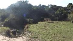Tình huống 'ê mặt' của bầy sư tử: Đi săn trâu rừng, bị trâu rừng đuổi chạy tán loạn