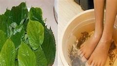Món ăn thuốc từ lá lốt chữa phong thấp, đầy trướng bụng