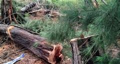 Người đàn ông bị cây đè chết trong rừng, trên tay vẫn cầm cưa tay