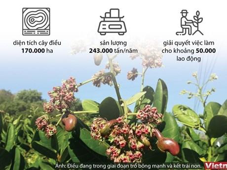[Infographics] Xuất khẩu điều Việt Nam tiến tới vị trí số 1 thế giới