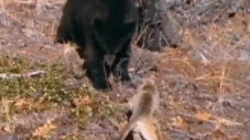 Đụng đến báo con, gấu đen bị 'bà mẹ' hung dữ đánh đến trèo lên cây cũng không thoát