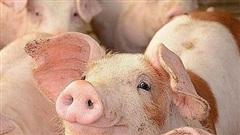 Giá lợn hơi hôm nay 1/12: Thị trường miền Nam thu mua cao nhất tới 72.000 đồng/kg