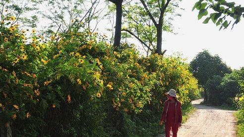 Khám phá con đường hoa dã quỳ đẹp ngất ngây ngay giữa lòng Hà Nội