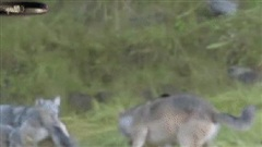 Gấu đen bị cả đàn sói bao vây đánh hội đồng và phải tháo chạy đầy thương tích