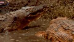 Cá sấu mẹ đang định đưa con xuống nước thì kẻ thù đến tổ giết hại, liệu trận chiến sẽ ra sao?