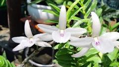 Mánh khóe tinh vi của nhóm lừa đảo chuyên 'phù phép' phong lan thường thành lan đột biến