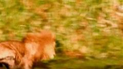 Vốn là kẻ thù truyền kiếp, vì sao cả bầy linh cẩu bỏ chạy dù sư tử chỉ có 1 mình?