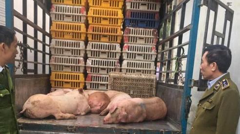 Bắt giữ xe vận chuyển 500kg thịt heo nhiễm dịch tả Châu Phi trên đường đi tiêu thụ