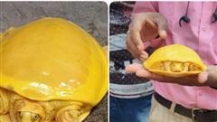 Giải mã bí ẩn về con rùa có màu vàng quý hiếm đang gây bão mạng xã hội