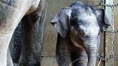 Chú voi con nặng 120 kg ra đời tại Vườn thú của Nhật Bản