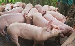 Giá lợn hơi hôm nay 4/12: Giảm giá trên cả 3 miền