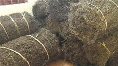 Thạch đen sắp được xuất khẩu chính ngạch sang Trung Quốc