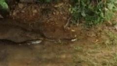 Hổ mang thuộc 'Tứ đại nọc độc' cũng bị hổ mang chúa hạ sát chỉ trong 'vài nốt nhạc'