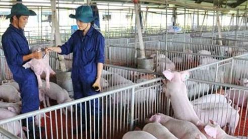 Giá lợn hơi hôm nay 8/12: Miền Bắc đi ngang, miền Trung và miền Nam giảm nhẹ