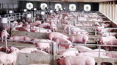 Giá lợn hơi ngày 12/12: Dao động 67.000 - 72.000 đồng/kg