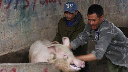 Nghịch lý giá lợn hơi 'tăng đà' do tiểu thương bán tháo chạy dịch?