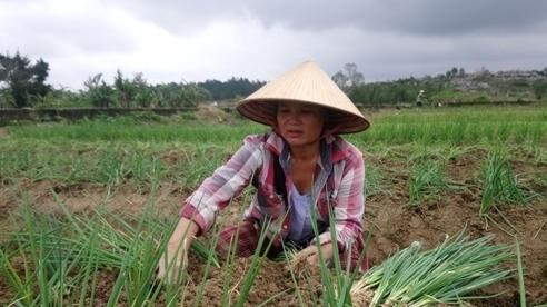 Vùng chuyên canh hành lá ở Thừa Thiên – Huế tan tác sau bão lũ, giống hiếm, nông dân chật vật khôi phục