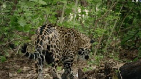Báo đốm giật bắn mình vì đụng độ 'rắn 3 bước' cực độc, kết cục kẻ chết lại là... khỉ trên cây